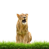 Male lion with green grass isolated Royalty Free Stock Images
