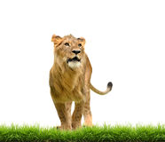Male lion with green grass isolated Stock Images