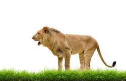 Male lion with green grass isolated Stock Photo