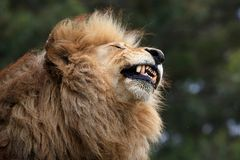 Male Lion Grimace Stock Photos