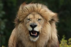 Male Lion Grimace Royalty Free Stock Photos
