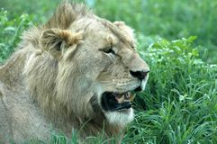 Male lion growling Stock Photo