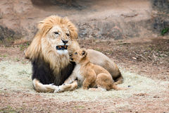 Male lion growling at his cub Royalty Free Stock Photo