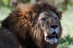 Male Lion Growling Wildlife Royalty Free Stock Image