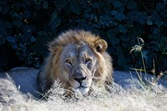 Male lion guarding while the family sleeps stock photo