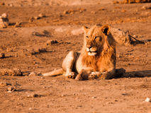 Male lion having a rest. On dusty ground, Etosha National Park, Namibia Royalty Free Stock Photography