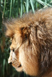 Male lion head Royalty Free Stock Photo