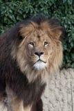 Male lion head. Close up Male lion head Stock Photos