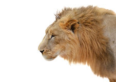 Male lion head isolated Royalty Free Stock Photo