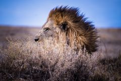 Hidden lion in Africa royalty free stock photos