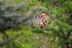 Lion hiding in South Africa. A male lion hiding in the grass in South Africa Royalty Free Stock Photography