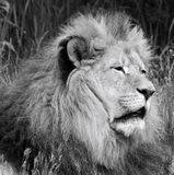 Male lion. Highly distinctive, the  is easily recognized by its mane, and its face is one of the most widely recognized animal symbols in human culture royalty free stock images