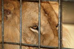 Male lion Stock Image