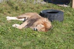 Male lion Stock Photo
