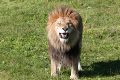 Male lion. Highly distinctive, the  is easily recognized by its mane, and its face is one of the most widely recognized animal symbols in human culture Stock Photo