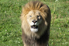 Male lion. Highly distinctive, the  is easily recognized by its mane, and its face is one of the most widely recognized animal symbols in human culture Stock Images