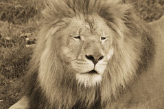 Male lion. Highly distinctive, the  is easily recognized by its mane, and its face is one of the most widely recognized animal symbols in human culture Royalty Free Stock Photos