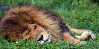 Male lion. Highly distinctive, the  is easily recognized by its mane, and its face is one of the most widely recognized animal symbols in human culture Royalty Free Stock Photo
