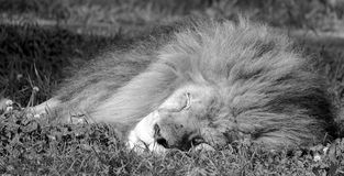 Male lion. Highly distinctive, the  is easily recognized by its mane, and its face is one of the most widely recognized animal symbols in human culture Royalty Free Stock Image