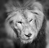 Male lion. Highly distinctive, the  is easily recognized by its mane, and its face is one of the most widely recognized animal symbols in human culture Stock Photos