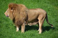 Male lion. Highly distinctive, the  is easily recognized by its mane, and its face is one of the most widely recognized animal symbols in human culture Stock Image