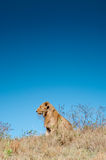 Male Lion on Hill Stock Photography