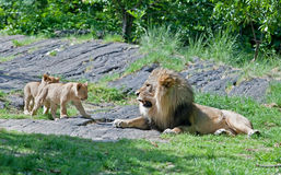 Male lion and his cubs Stock Photo