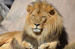 Male Lion with his Eyes Closed Resting. Male lion resting in the warm sunshine stock images
