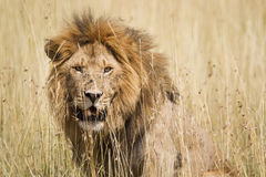 Male Lion. Impressive male lion in high grass, Serengeti National Park, Tanzania, Southeast Africa stock photo