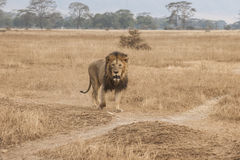 Free Male Lion, In Savanna Of Ngorongoro Crater, Tanzania, Africa Royalty Free Stock Photos - 33241188