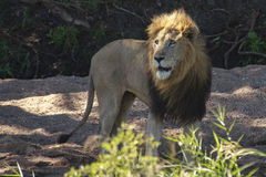 Male Lion. The intense stare of a  male lion  in a dry river bed Royalty Free Stock Photography
