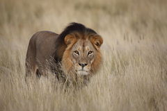 Male lion isolated in grass Stock Photos
