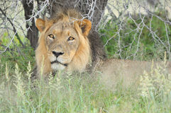 Male lion in the Kalahari Royalty Free Stock Photos