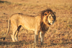 A male lion at kenya Royalty Free Stock Photo