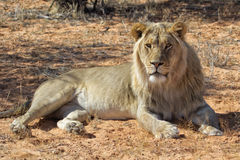 Male lion at kgalagadi Royalty Free Stock Image