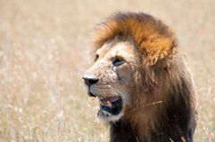 Male Lion on a Kill Royalty Free Stock Image