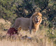 Male Lion With Kill Royalty Free Stock Image