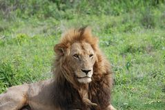 Male lion king of the jungle Stock Image