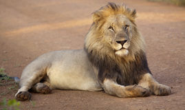 Male lion - king of the jungle Royalty Free Stock Photo