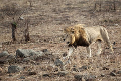 Male Lion in Kruger National Park Royalty Free Stock Photo