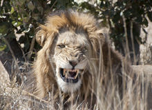 Male lion. Royalty Free Stock Photography