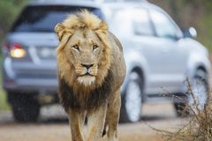 Male lion in Kruger NP - South Africa royalty free stock image