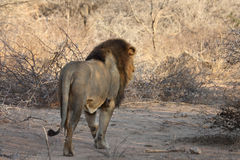 Male lion landscape Stock Images