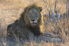 Male lion lay down to rest after eating. Male lion lay down to rest on gras after eating Royalty Free Stock Photo