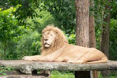 Male lion laying alone Royalty Free Stock Photo