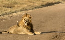 Majestic male lion sitting in road, in early morning sunshine, looking left. Tarangire National Park, Tanzania, Africa. Male lion laying on dirt road in Royalty Free Stock Photo