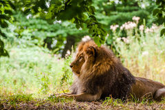Male lion laying in a forest Royalty Free Stock Photo
