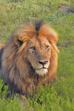 Male lion laying in the grass Royalty Free Stock Image