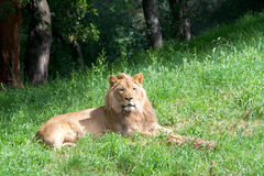 Male lion laying in grass, trees in background Stock Photo