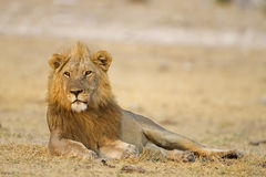 Male lion laying in open field Stock Image